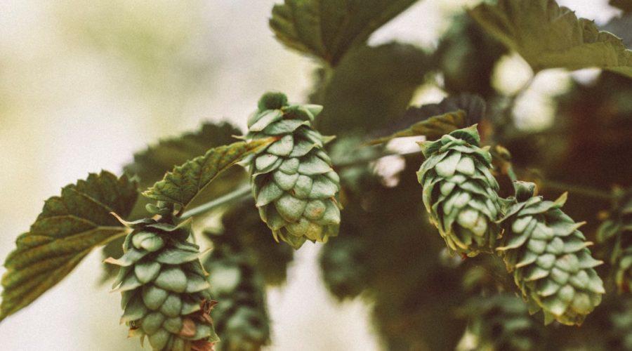 <strong></noscript>Depuis quand ajoute-t-on du houblon dans la bière ?</strong>